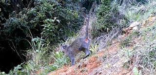 vervet monkey, darwin primate group, samango monkey, primates, sykes monkey, blue monkey,
