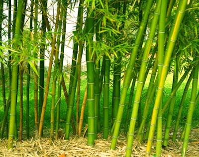 Jasa Tukang taman Surabaya Tanaman hias Bambu Kuning