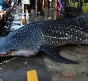 Big shark escapes death as Thailand residents returned the shark back on the sea (Video)