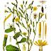 Το Βότανο του Ιπποκράτη που Σταματά τον Πόνο & Φυτρώνει Μόνο του σε Κάθε Αυλή