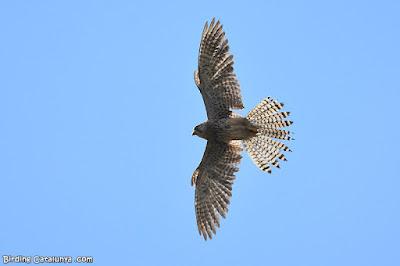 Xoriguer comú (Falco tinnunculus)