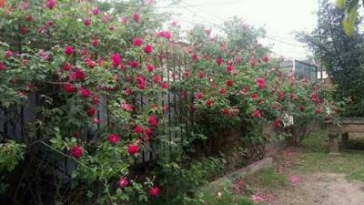 hoa hồng leo tường vi