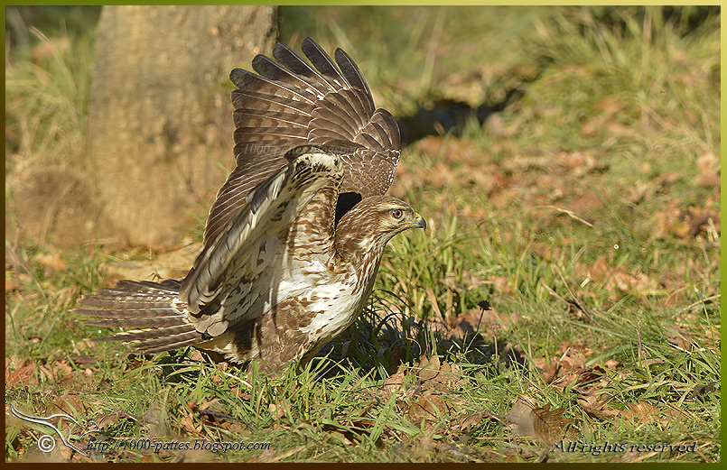 Light buzzards' colorations and migration – 03