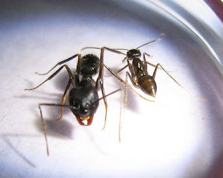 Major and minor worker of Euprenolepis procera