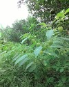 Manfaat Pohon dan Buah Ciplukan