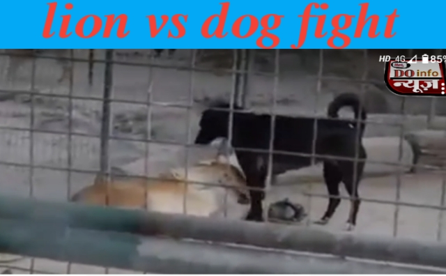 lion vs dog fight,lion vs dog who will win,