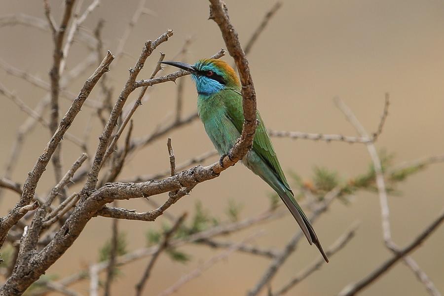 Arabian Green Bee-eater