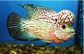 Klasifikasi ikan louhan