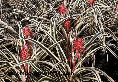 Pina roja/Red Pineapple/Ananas bracteatus | Zoom's Edible Plants