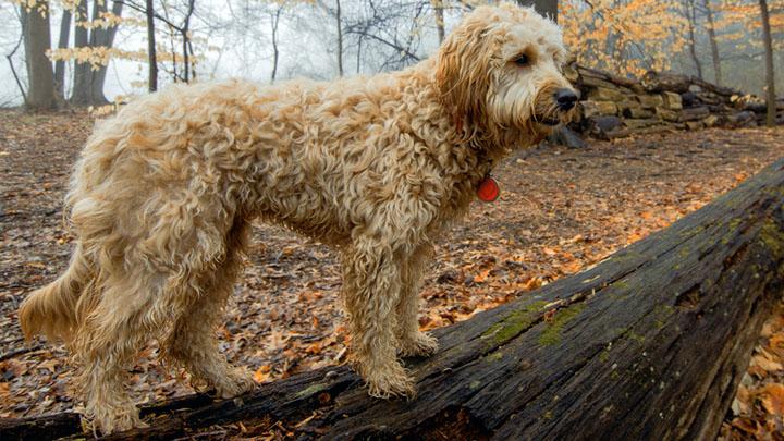 f1b-mini-goldendoodle