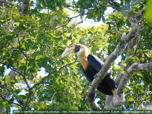 Blyth's hornbill in rainforest of West Papua