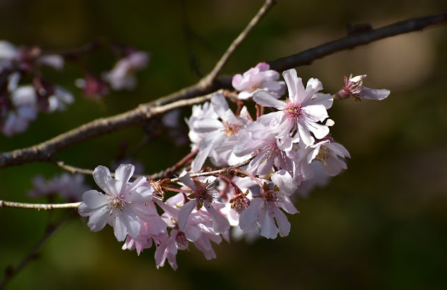 城峰公園の桜1