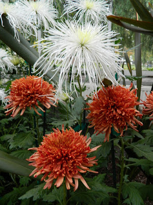 White spider and orange anemone chrysanthemums at 2016 Allan Gardens Conservatory  Fall Chrysanthemum Show by garden muses-not another Toronto gardening blog
