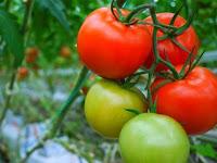 Ini Dia Cara Budidaya Tanaman Tomat Berkualitas Tinggi