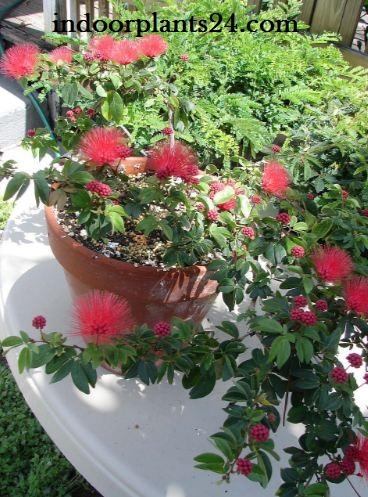 Calliandra Haematocephala (inaequilatera) Powder Puff Plant