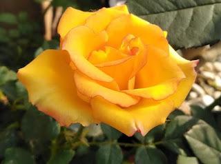 Setangkai Mawar Putih Indah