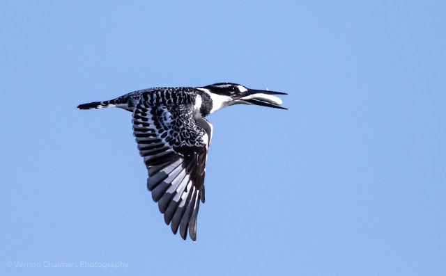 Pied Kingfisher in Flight Table Bay Nature Reserve Woodbridge Island Photo Vernon Chalmers