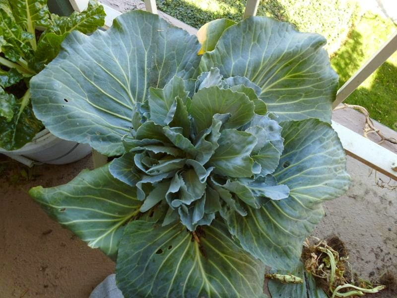 Mutant looking cabbage