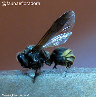 Enxu ou vespa do mel Brachygastra lecheguana (Latreille 1824)