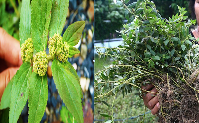 Tawa Tawa Plant: One of the Best Natural Treatment To Cure Dengue and Many Other Diseases
