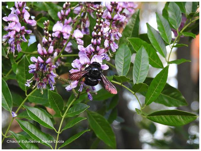 Abejorro  en una flor- Chacra Educativa Santa Lucía