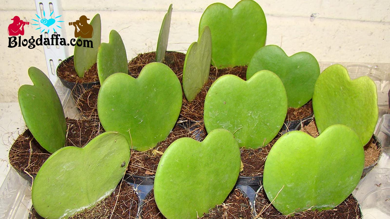 Tips Menanam Bunga Hoya di Rumah