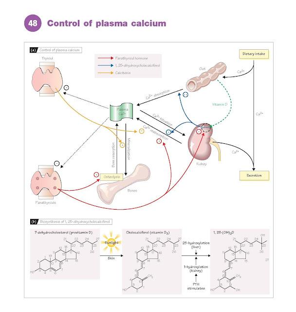 Control Of Plasma Calcium