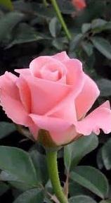 Gambar bunga mawar keren