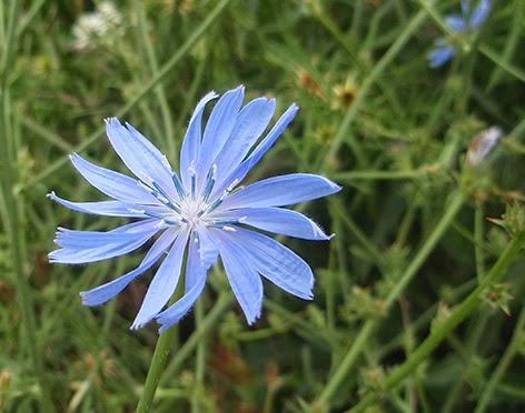 Achicoria (Cichorium intybus) flor silvestre azul
