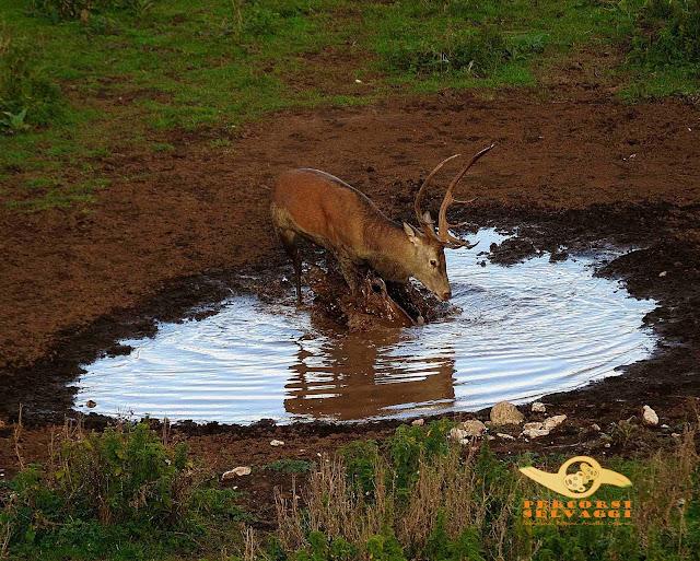 cervo in acqua