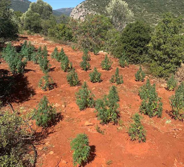 Εντοπίστηκε φυτεία με 171 δενδρύλλια κάνναβης στο Δήμο Βόρειας Κυνουρίας στην Αρκαδία