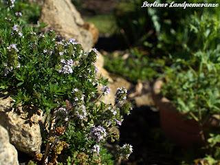 Bergbohnenkraut in Blüte