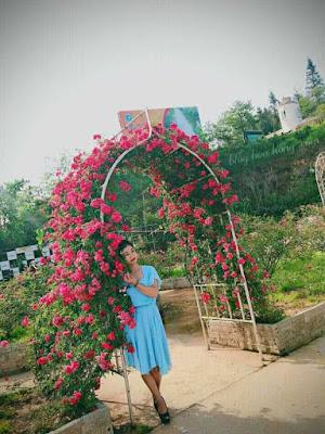 cây hoa hồng leo tầm xuân đỏ ở sapa
