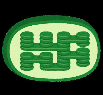 葉緑体のイラスト
