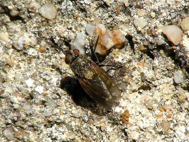 Female cluster fly Pollenia sp, Indre et Loire, France. Photographed by Susan Walter. Tour the Loire Valley with a classic car and a private guide.