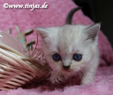 Britisch Kurzhaar Katzenbabys 6