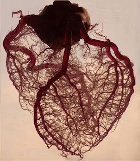 pembuluh darah arteri dan jantung manusia