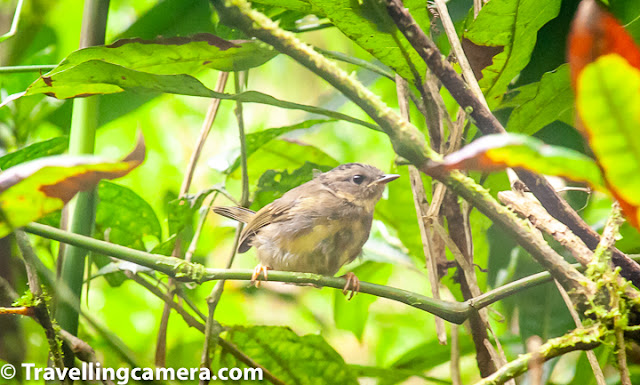 Birding, Birds, Costa Rica, Monteverde, Papagayo peninsula, Flycatcher, Bananaquit, Slaty Flowerpiercer, Black-faced solitaire, Great Egret, Yellow-olive flatbill, Costa Rica is indeed a birders' paradise. With 919 registered species as of November 2018, the country has a vast variety of species spread everywhere. Many of these are colorful and incredibly beautiful. They come in all sizes and some have calls that are musical, others sing haunting songs. If you happen to go into a cloud forest, you can hear a three-wattled bellbird's bell-like call echoing around. However, it is not easy to spot this bird. We couldn't either, though we heard it everywhere. Gray-capped flycatcher. With nearly 75 species of Tyrant flycatchers and 4 more of Royal flycatchers, you cannot go anywhere in Costa Rica without coming across at least 5 different types. We have already covered the Great Kiskadee and Western Kingbird in the previous post of this series. In this post, we will talk about two more types - the gray-capped flycatcher and the golden-bellied flycatcher. The gray-capped flycatcher is a member of the Tyrant flycatcher family, and is visually very similar to the social flycatcher. In fact the gray-capped flycatcher at times uses the nests abandoned by social flycatchers. The nesting sites are either close to or over water bodies, where food is abundant. Golden-bellied flycatcher. Another tyrant flycatcher, the golden-bellied flycatcher is also known as the golden-bellied greygone. found at the edge of wet forests in the highlands. the golden-bellied flycatcher usually perches on high tree canopies or power cables and catches insects in mid-air. However, it also feeds on a variety of other stuff such as berries.  Brown Jay. In this photograph, a brown jay is perched on a leafless branch. The jay belongs to the same group as magpies, but has shorter tail and larger bill than magpies. Most adults have black bills, brown wings and lighter (often white) lower parts. The brown jays eat a variety of food - insects, seeds, lizards. They are also known to raid nests and take eggs and baby birds, if other kind of food is scarce. Slate-throated whitestart. The slate-throated whitestart is a long-tailed warbler with yellow underparts, white rump and very dark, almost black head and shoulders. It has a red patch on its head, which is not visible in this photograph. It was because of this that it was so difficult for me to identify this bird. There are too many yellow and dark brown birds in Costa Rica. The whitestart, much like the redstarts, moves its tails up and down to scare insects and then catches them midair. Costa Rican Warbler. Another warbler we saw was the Costa Rican Warbler or the black-eared warbler is a small bird, with brown wings and black patches on the cheeks. It is a small bird that feeds on insects that it forages for on the ground. Pairs and small groups of Costa Rican Warbler is often found in mixed species flocks. Black-faced solitaire. Black-faced solitaire is a bird belonging to the thrush family. Easily identifiable with a black face and orange beak and legs, the black-faced solitaire forages for berries and also insects. The black-faced solitaire lives in dense undergrowth and bamboo clumps in the cloud forests. Yellow-olive flatbill. The Yellow-Olive flatbill is another tyrant flycatcher which was very difficult for me to identify. Even now, I am not sure whether I have identified the bird correctly. Please see if I have made a mistake here. This flycatcher is found across a wide range in central and south America. Bananaquit. A Bananaquit is a small bird that feeds on nectar. It is yet to be properly categorized, though has tentatively been put under the Tanager family. This little bird is found in warmer parts of the Americas. The bird has a sharp, pointed beak that it uses to pierce flowers from the side to drink nectar. It also uses the beak to pierce fruits and sip on their juices. The little bird is also known to eat insects at times. It occurs in semi-open habitats and is known to reside in gardens and parks. The bird is however usually not found in dense forests. Great egret. This graceful bird, once endangered, is now a common sight in American wetlands. It can often be seen standing still in water, waiting for fish to get close enough so that it can strike and make a kill. The bird is also known to swim and dip to catch fish at times. The great egret turns even more spectacular during the breeding season, when it develops a bright green patch on its beak and beautiful long plumes that shed once the breeding season is over. Slaty flowerpiercer. The Slaty flowerpiercer is often grouped along with the bananaquit, but is essentially a different bird. The bird has a pointed bill with hooked upper mandible. It uses this bill to pierce the base of flowers and then extracts nectar with its tongue. It also feeds on small insects. The flowerpiercer faces stiff competition from hummingbirds who often chase it out of their territory. With so many fascinating birds, it is definitely tempting to go back to Costa Rica for a second visit, though this time we would want to spend more time close to birding sites. However, Costa Rica is really far and there are other constraints too. May be one day...