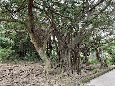 ガジュマル・アカギの木