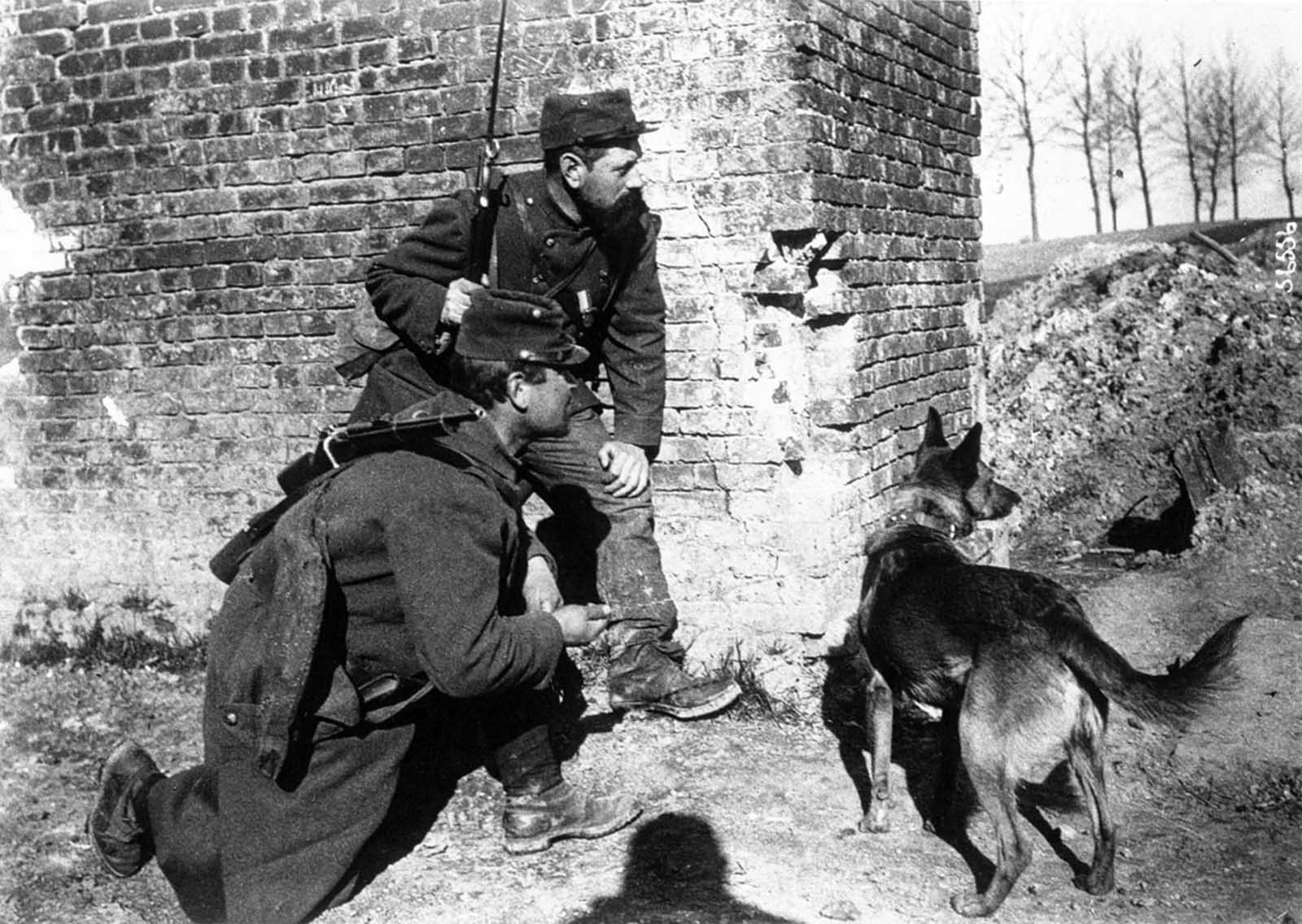 A dog trained to search for wounded soldiers while under fire, 1915.