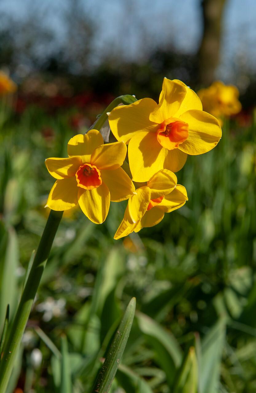 Flores de narcisos amarillas