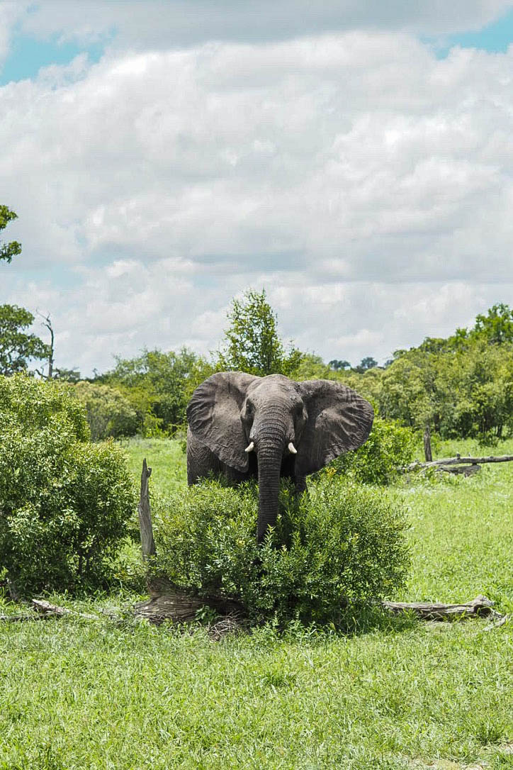 Angry teenage elephant charging in Kruger Park