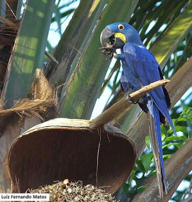 Arara-azul-grande, Anodorhynchus hyacinthinus, arara, arara azul, dispersão de sementes, aves do brasil, pássaros do brasil, aves que dispersam sementes, birds, natureza, dispersar sementes, meio ambiente, ornitologia, pajaro
