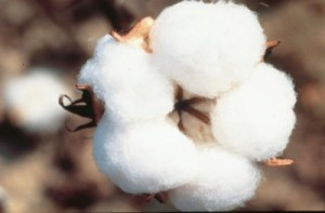 Cotton Crop Information