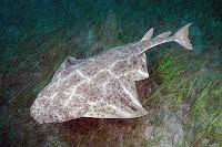 Su altındaki bir keler balığının üstten görünüşü