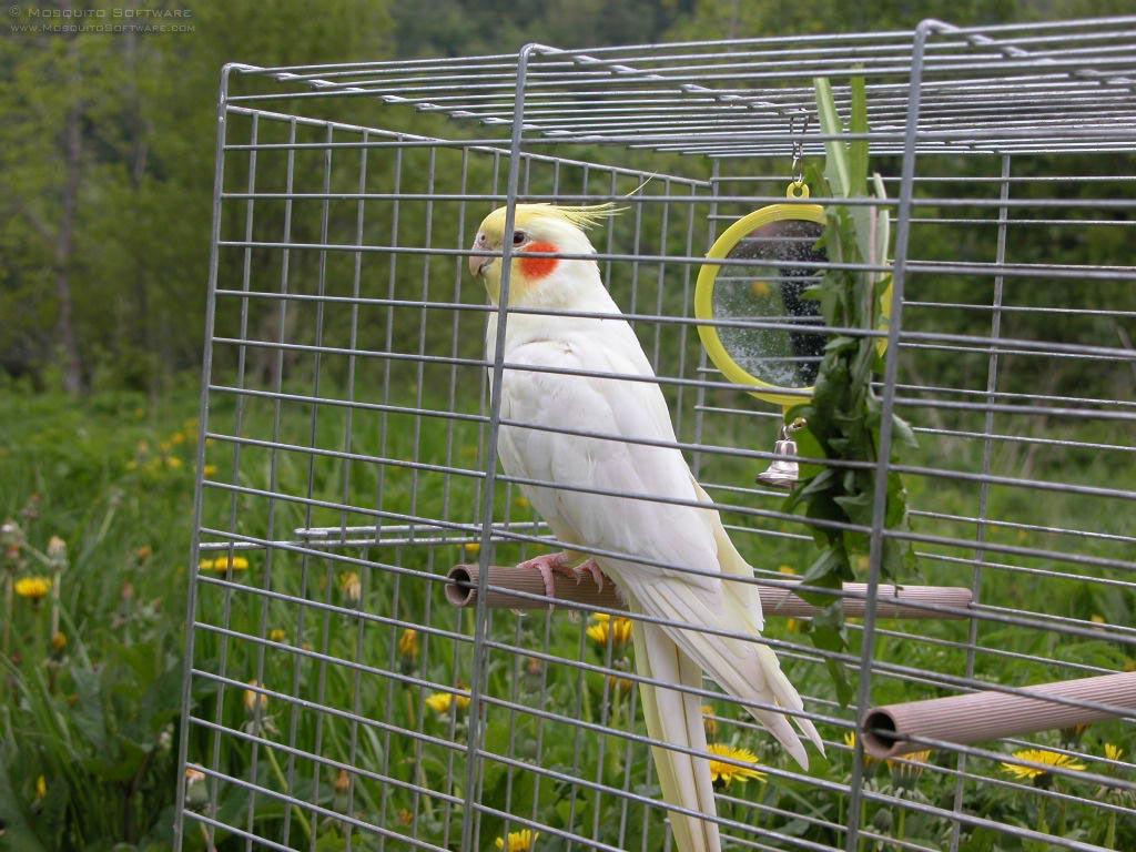 Bird In Everything: Birds Cockatiel
