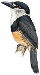 Notharchus swainsoni