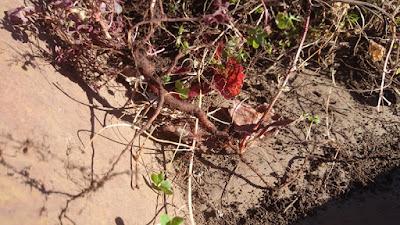 古株のアカカタバミの根。太さは約5mm。