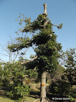 Machilus Bay tree, Hama-Rikyu Garden - Tokyo, Japan