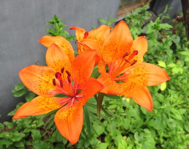 garden flower lily orange